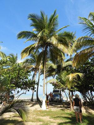 Die 'gefährlichen Geschosse', bzw. die reifen Kokos-Nüsse müssen gepflückt werden