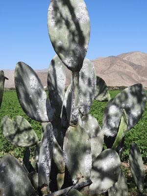 ....und Kaktusfrüchte der etwas anderen Art - Cochinillas