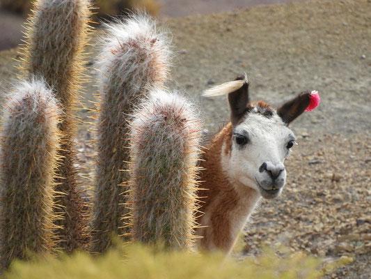 Farbige Ohrquaste - Kennzeichen des Lama-Eigentümers