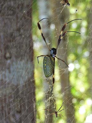 Das 4cm grosse Weibchen der 'Goldenen Seidenspinne' und das 1cm kleine Männchen unten