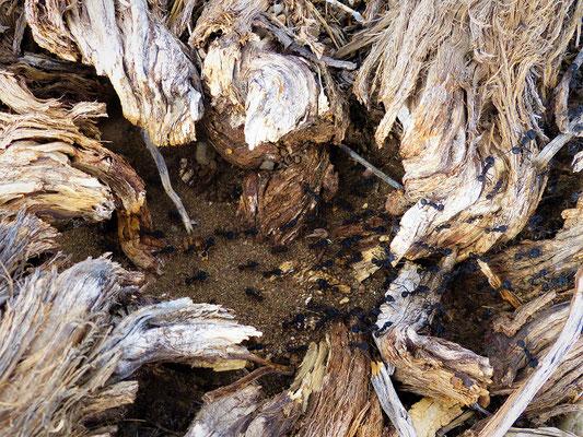 Der erste grosse Ameisenhaufen, den wir in Argentinien sehen!