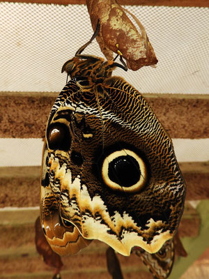....pumpt Blut in die noch leeren Adern der Flügel, entfaltet und glättet sie.