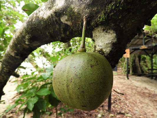 Manzanilla del la Muerte - Giftiger Baum, giftige Blätter und sehr giftige Früchte