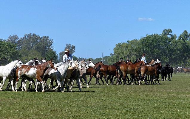 Die Pferdegruppen reiten wild durcheinander und bleiben doch schön zusammen