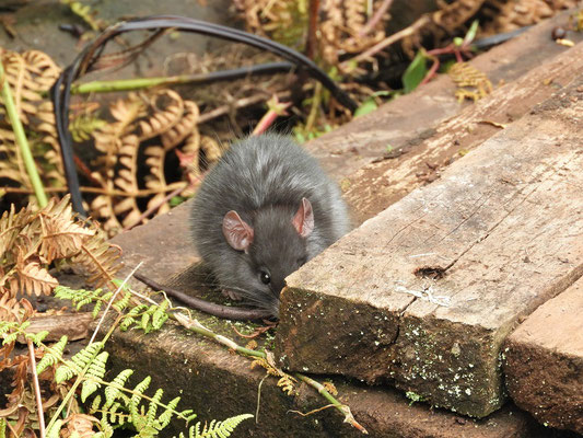 Diese Ratte versteckt sich ängstlich hinter einem Holzbalken