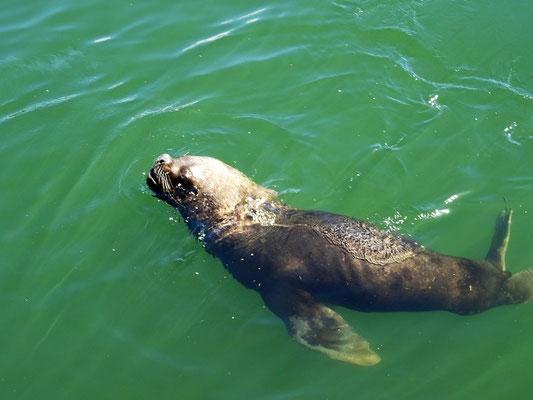 Gemächlich ziehen die Seelöwen bei unserem Stellplatz vorbei