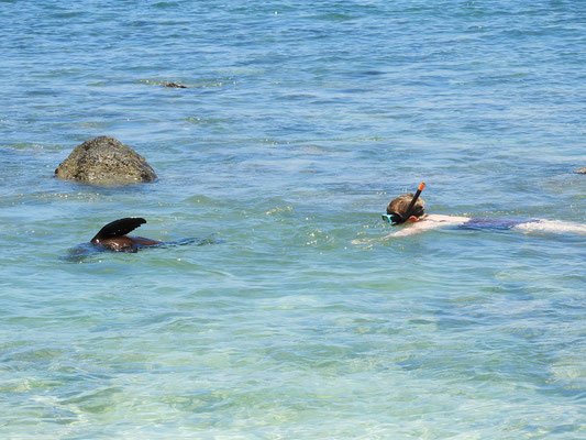 Schwimmen mit Seelöwen-Baby