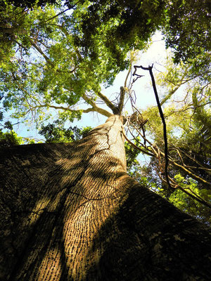 Die mindestens 140 Jahre alten Bäume....