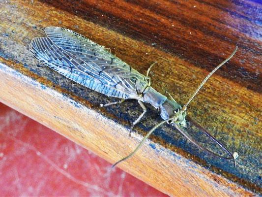 Dobsonfly 14cm