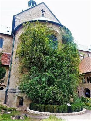 1000-jähriger Rosenbusch in Hildesheim - nachgewiesen mindestens 400 jährig