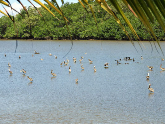Pelikane und Kormorane beim morgendlichen Bad....