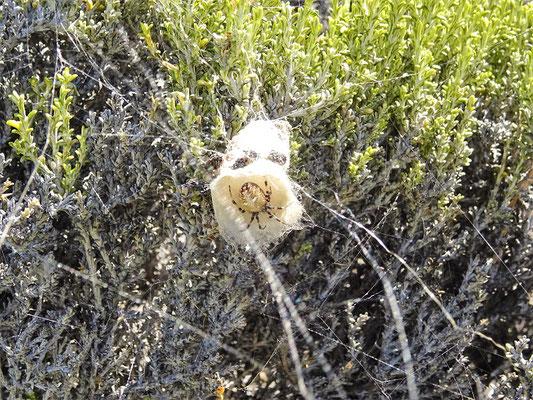 Spinne in ihrem Fangtrichter - Vorrat wird auf dem Dachboden gelagert ;o)