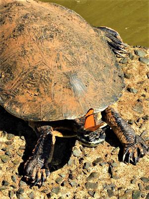 ....sogar die Wasserschildkröten dienen als Futterplatz  ;o))
