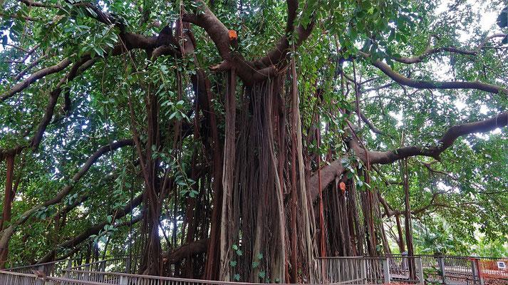 Der Feigenbaum....