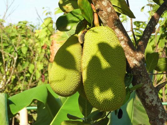 Jackfruit oder Jakobsfrucht