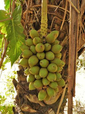 Palmfrucht