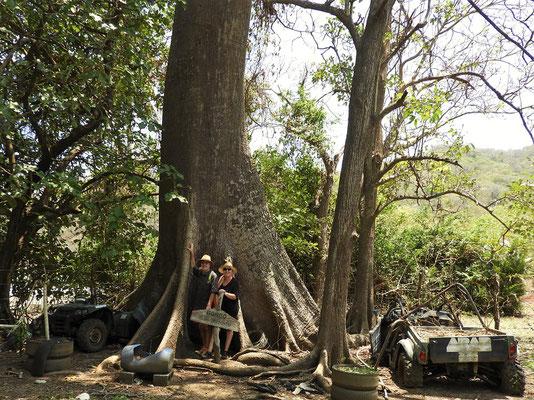 150 Jahre alter Kabokbaum/Ceiba pentandra