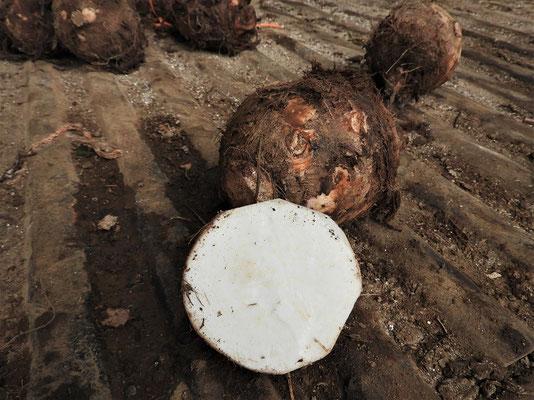 ....kartoffelähnliche Knolle....