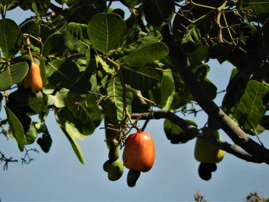 Caju-/Cashew-Frucht mit Nuss