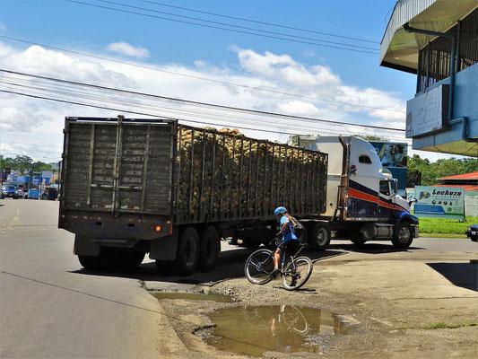 Ananas-Transport in die Konservenfabrik