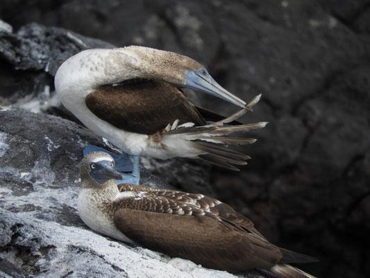 Blaufusstölpel Männchen und Weibchen