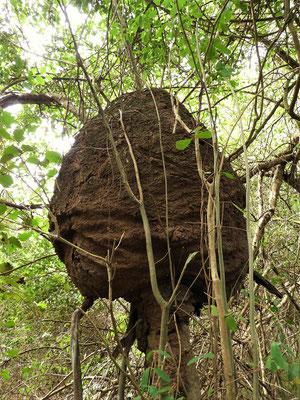 Termiten-Nest