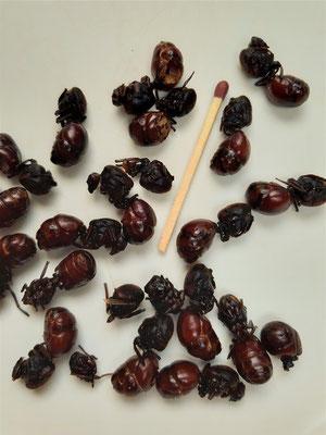 Hormigas culonas/grosse Blattschneiderameisen - lokale Spezialität aus der Region Santander, werden gebraten oder fritiert gegessen. Einfach nicht hinschauen ;o))