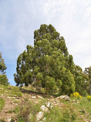 Eucalyptos