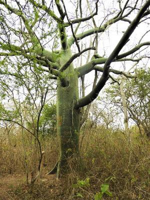 Ceibo-Baum
