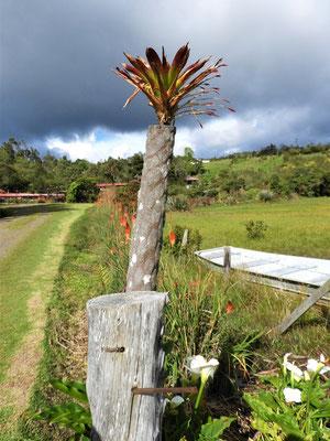 Bromelie wächst auf Holzpfosten