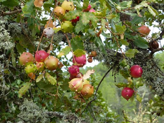 ....mit Galläpfeln - Nester der Eichen-Gallwespen