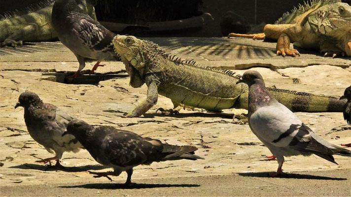 Leguane, Tauben und Schildkröten leben friedlich nebeneinander auf der Plaza