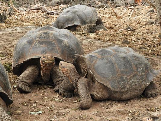 Landschildkröte links - Galapagos-Schildkröte rechts