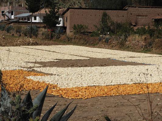 Die Maiskolben werden an der Sonne getrocknet