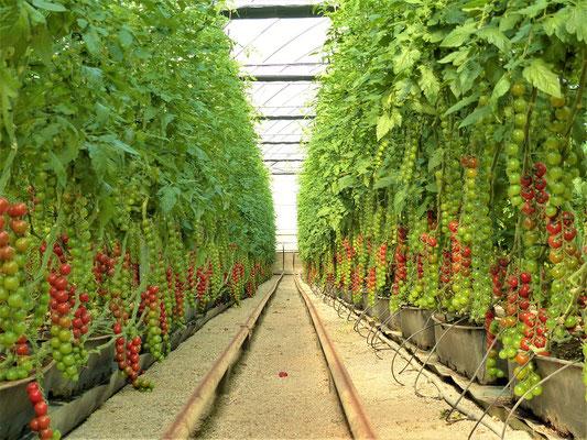 Tomaten in mit Kokos-Bast gefüllten Pflanztöpfen