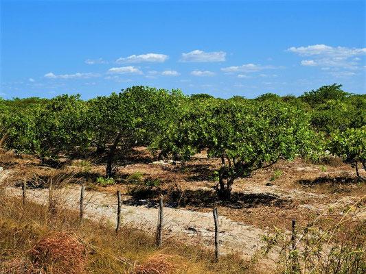 Caju-/Ceshew-Plantage