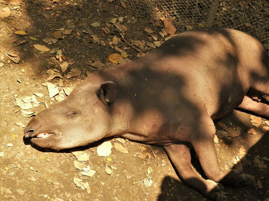 Tapir....