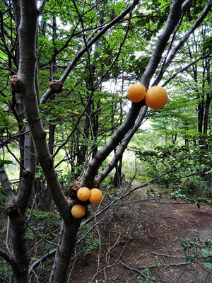 Gelbe fruchtartige Kugeln, die aus den Geschwüren der Bäume wachsen