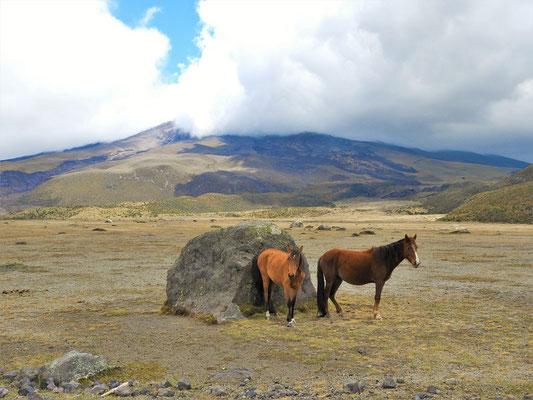 Wildpferde vor dem wolkenverhangenen Cotopaxi
