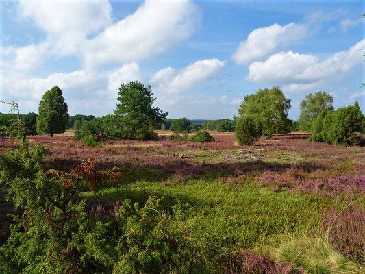 Die Heide blüht - aber wo sind die Heidschnucken?