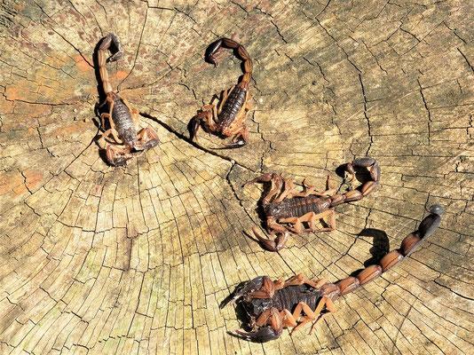 Skorpione aus einer der Cabaña - leider nicht mehr alle 'putzli-munter'!