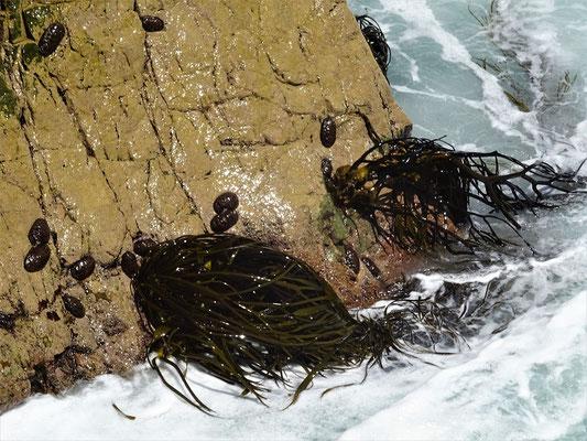 Hier wachsen die Kelb Algen