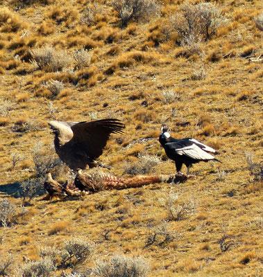 Kondore bekommen erst mit acht Jahren die weissen Federn. Flügelspannweite 3.30 m