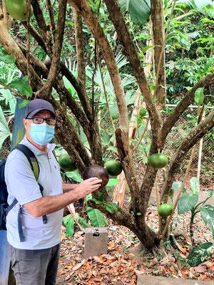 Kalabassen-Baum - aus den Früchten können Trinkgefässe gefertigt werden