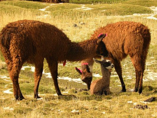 Lama-Familie auf einer Salz-Weide
