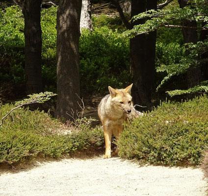 Beim Abstieg läuft uns ein Fuchs über den Weg