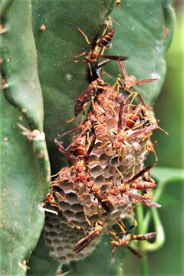 Diese Wespen waren nicht glücklich mit meinem Gezupfe....