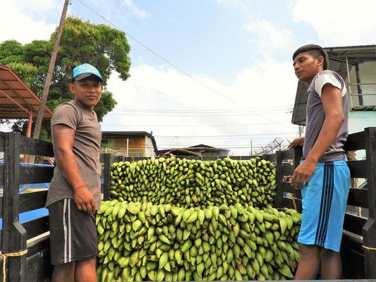 Platanos/Gemüsebananen werden zum Verkauf aufgeladen