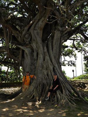 150 jähriger Baum im Burghof