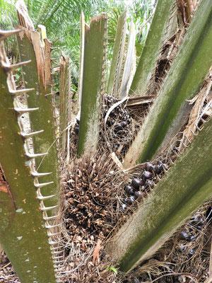 Palmöl-Palme